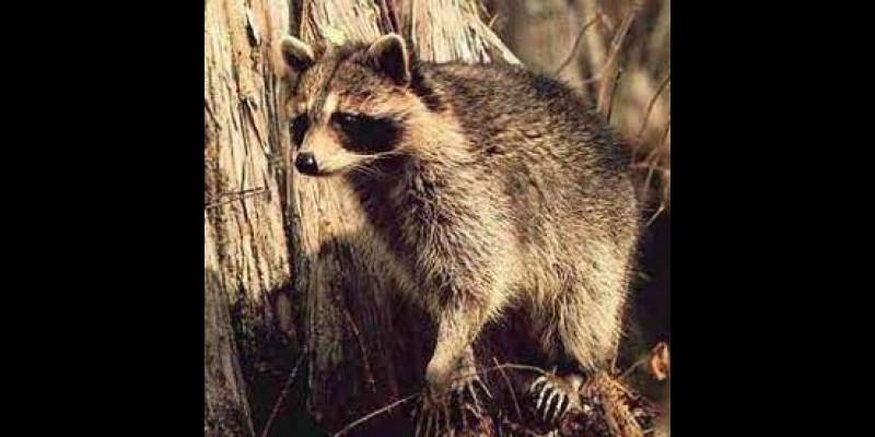 Image for Raccoon Rabies Vaccine Baits