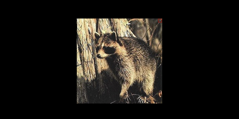 Image for Raccoons and Rabies